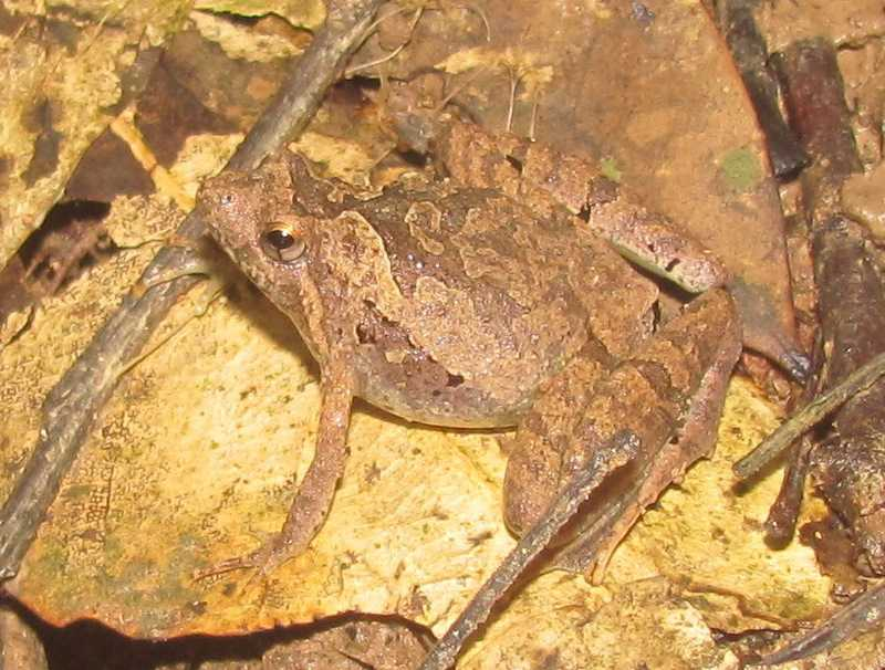 Berdmore's Narrowmouth Frog Microhyla berdmorei