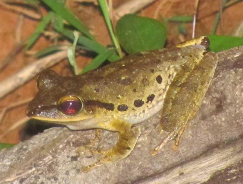 Brown Treefrog (Polypedates megacephalus)  khao yai thailand