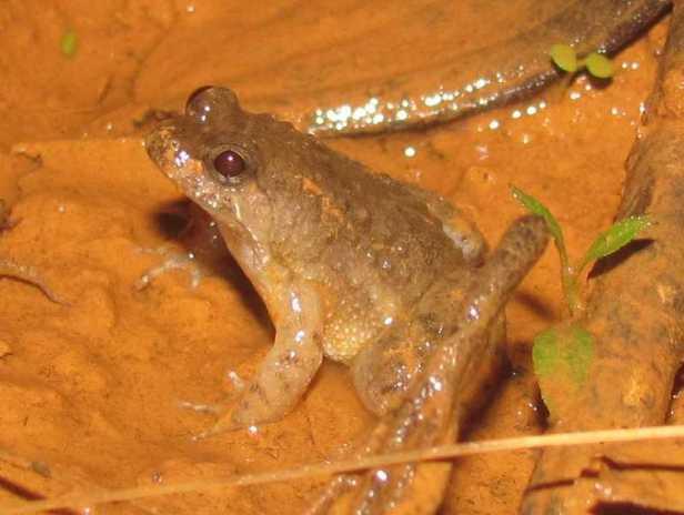 Round-tongued Floating Frog Occidozyga martensii khao yai thailand