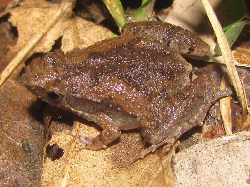 Mukhlesur's Narrowmouth Frog Microhyla mukhlesuri khao yai thailand