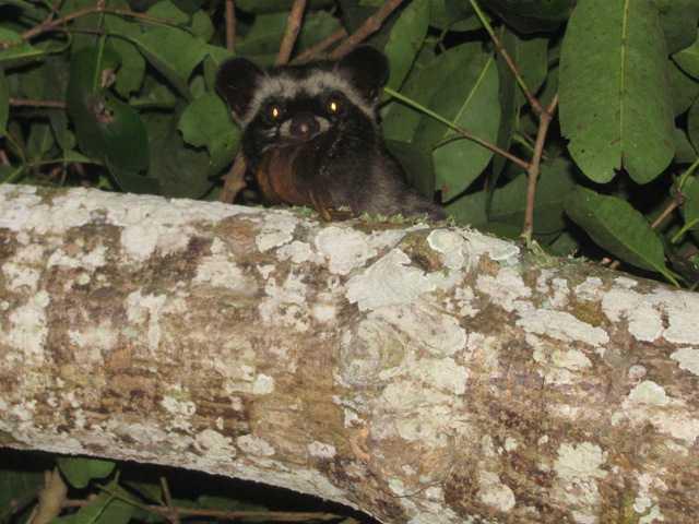 Asian palm civet Paradoxurus hermaphroditus khao yai thailand