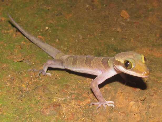 Cardamon Bow-fingered Gecko Cyrtodactylus intermedius khao yai thailand