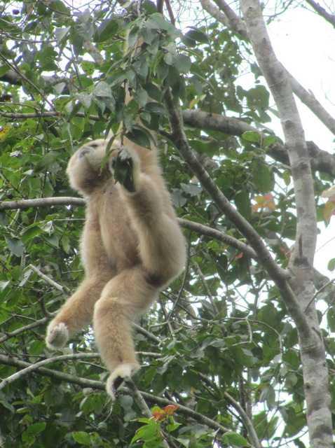 male White-handed Gibbons (Hylobates lar) in khao yai national park thailand