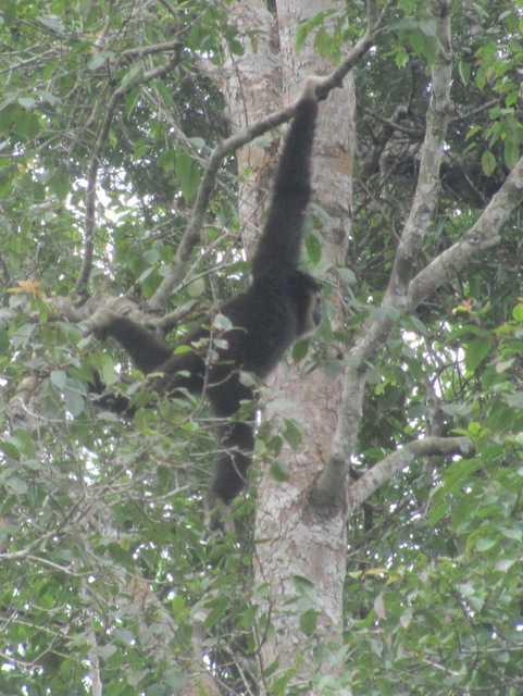 female White-handed Gibbons (Hylobates lar) in khao yai national park thailand