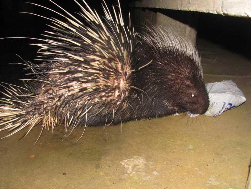Malayan Porcupines Hystrix brachyura khao yai dorms thailand