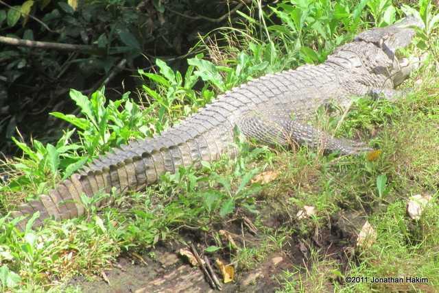 Siamese Crocodile (Crocodylus siamensis) khao yai national park thailand