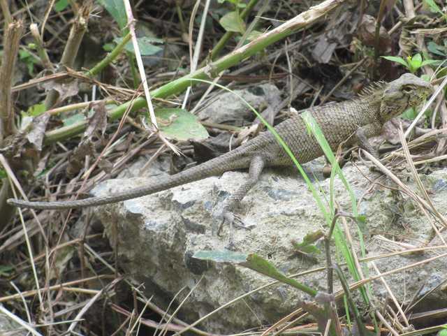Oriental Garden Lizard Calotes versicolor Chiang Mai Thailand