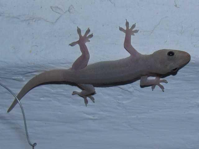 Spiny-tailed House Gecko Hemidactylus frenatus chiang mai thailand