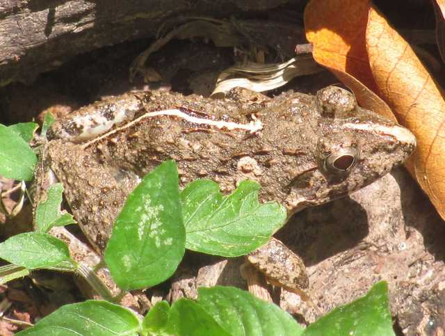 Asian Grass Frog Fejervarya limnocharis chiang mai thailand