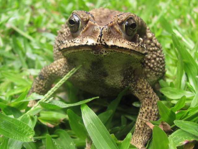Common Indian Toad Duttaphrynus melanostictus chiang mai thailand