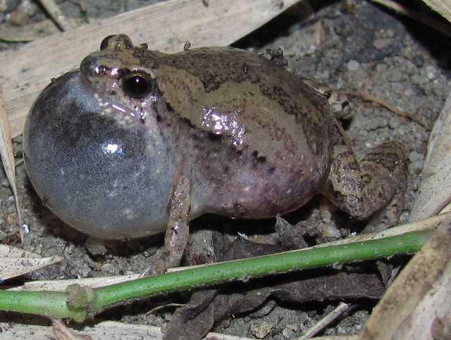 Mukhlesur's Narrowmouth Frog Microhyla mukhlesuri chiang mai thailand