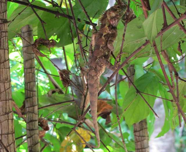 Indo-Chinese Forest Lizard Calotes mycestas chiang mai thailand