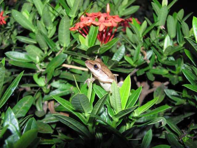 Four-lined Treefrog Polypedates leucomystax chiang mai thailand
