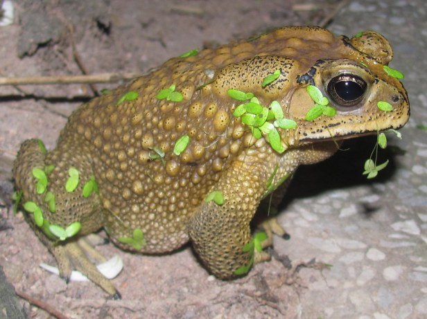 Common Indian Toad Duttaphrynus melanostictus Pattaya Thailand