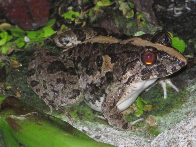 Asian Grass Frog Fejervarya limnocharis pattaya thailand