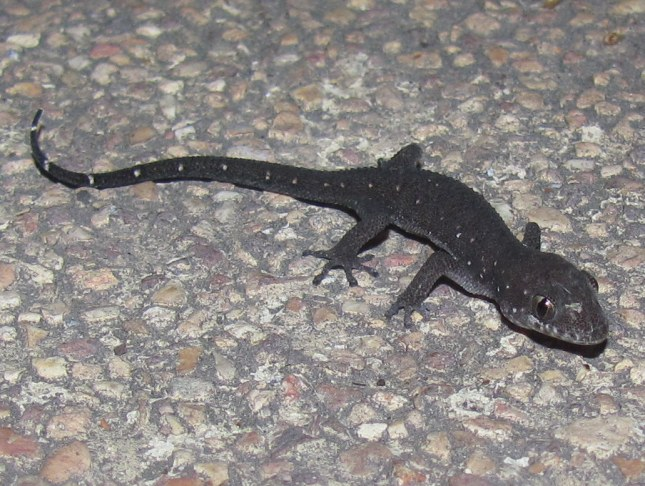 Siamese Leaf-toed Gecko Dixonius siamensis pattaya thailand