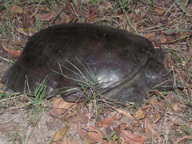 Chinese Softshell Turtle Pelodiscus sinensis pattaya thailand