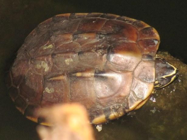Malayan Snail-eating Turtle Malayemys macrocephala pattaya thailand