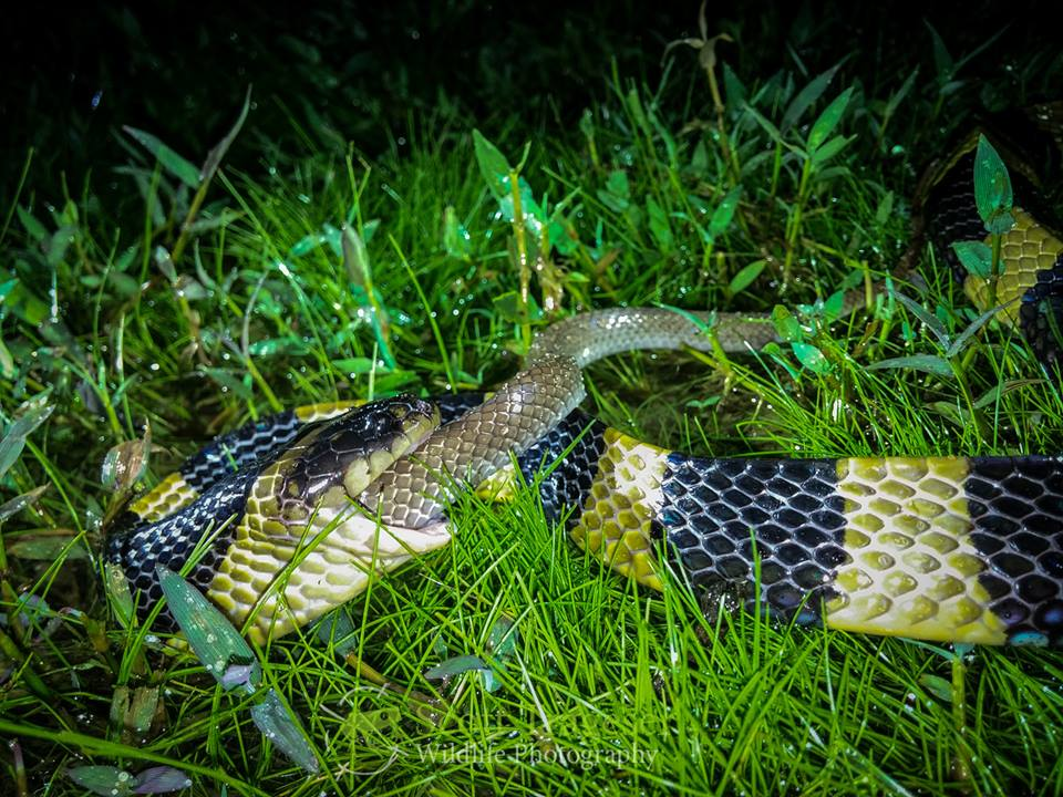 Banded Krait Bungarus fasciatus Bangladesh eating wolf snake in lawachara national park bangladesh creative conservation alliance scott trageser