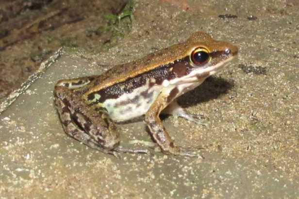 Cope's Assam Frogs (Hylarana leptoglossa) lawachara national park bangladesh
