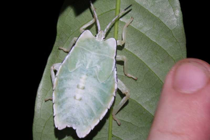 leaf insect nymph Lawachara National Park bangladesh
