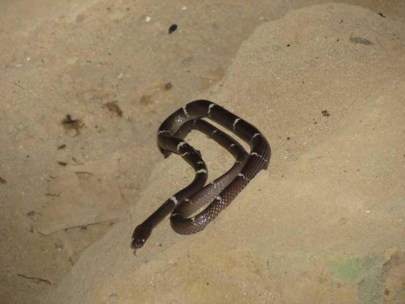Zaw's Wolf Snake Lycodon zawi Lawachara National Park bangladesh