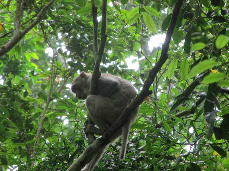 Rhesus Macaque Mucaca mulatta Lawachara National Park bangladesh