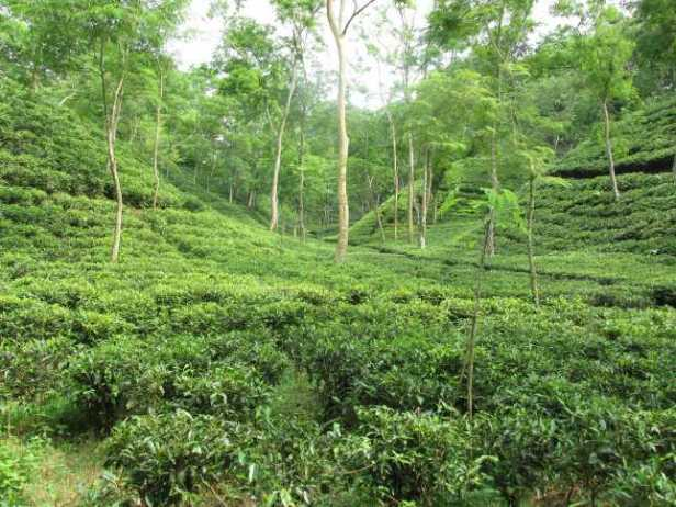 Tea plantation surrounds much of the park lawachara national park bangladesh