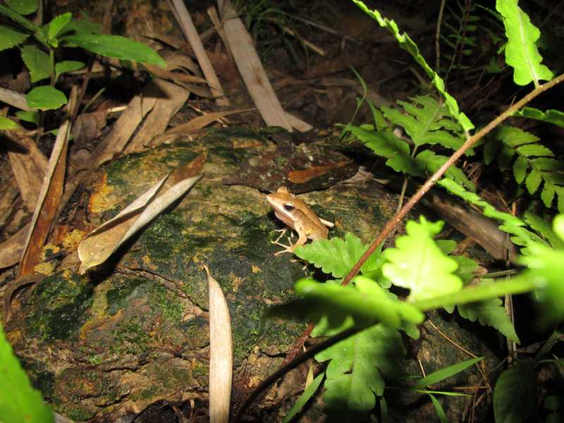 Point-nosed Frog Clinotarsus alticola Lawachara National Park bangladesh