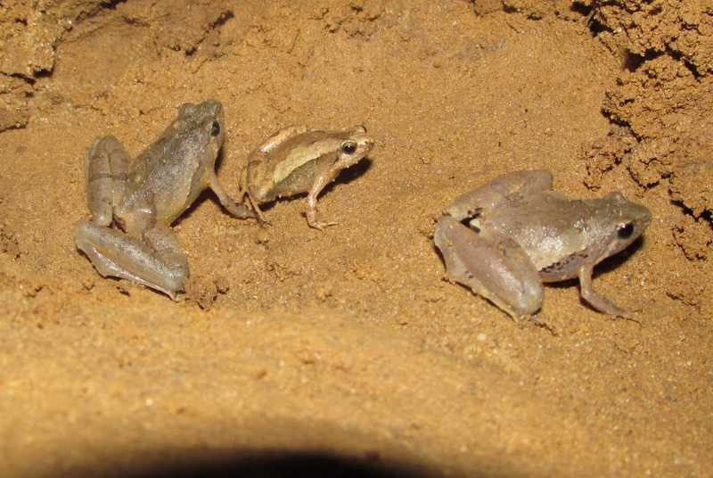 Berdmore's Narrowmouth Frogs and Mymensingh Narrowmouth Frog Microhylamymensinghensis Lawachara National Park bangladesh