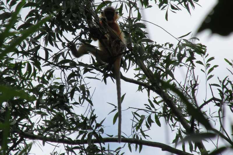capped langur Trachypithecus pileatus Lawachara National Park