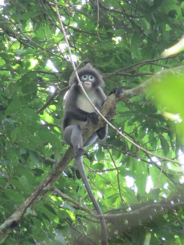 Phayre's Leaf Monkey Trachypithecus phayrei Lawachara National Park bangladesh