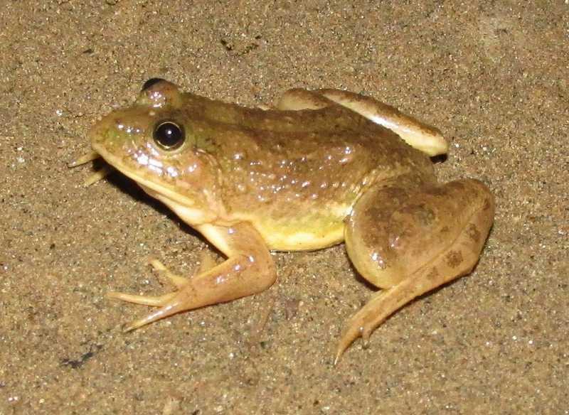 Skittering Frog Euphlyctis cyanophlyctis Ratagul Swamp Forest