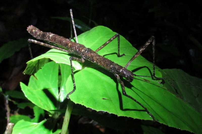 stick insect walking stick lawachara national park bangladesh