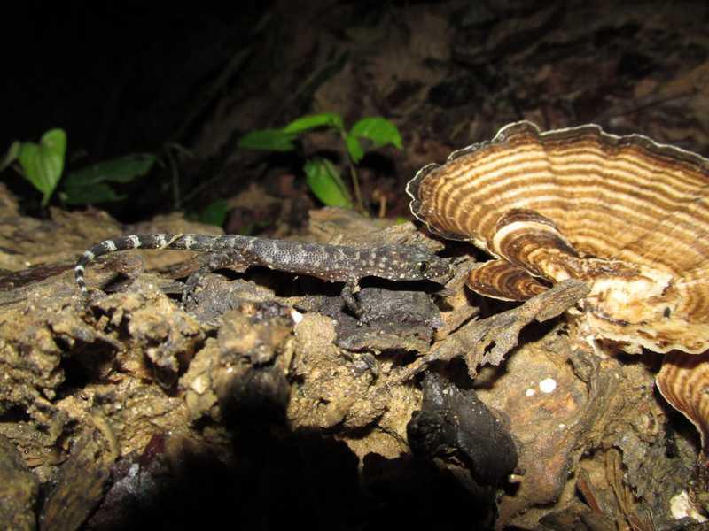 Ayeyerwady Bent-toed Geckos Cyrtodactylus ayeyarwadyensis Lawachara National Park bangladesh