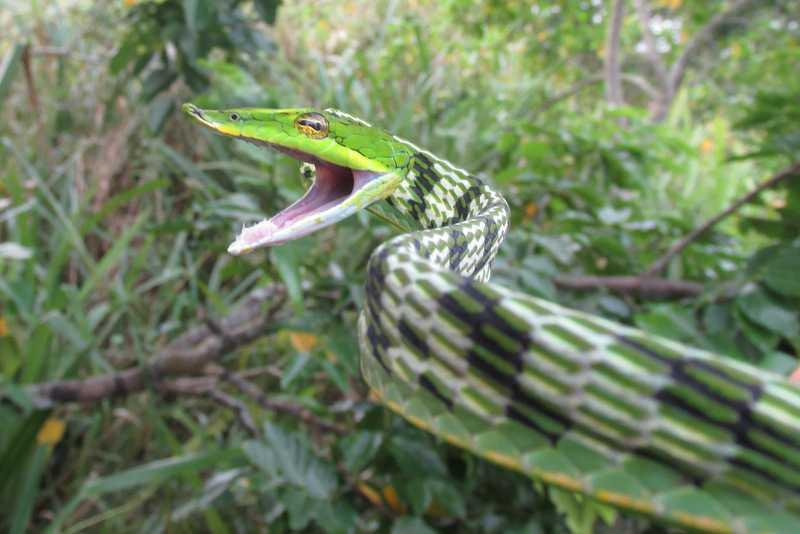 Long-nosed Vine Snake Ahaetulla nasuta Bangladesh Sundarbans