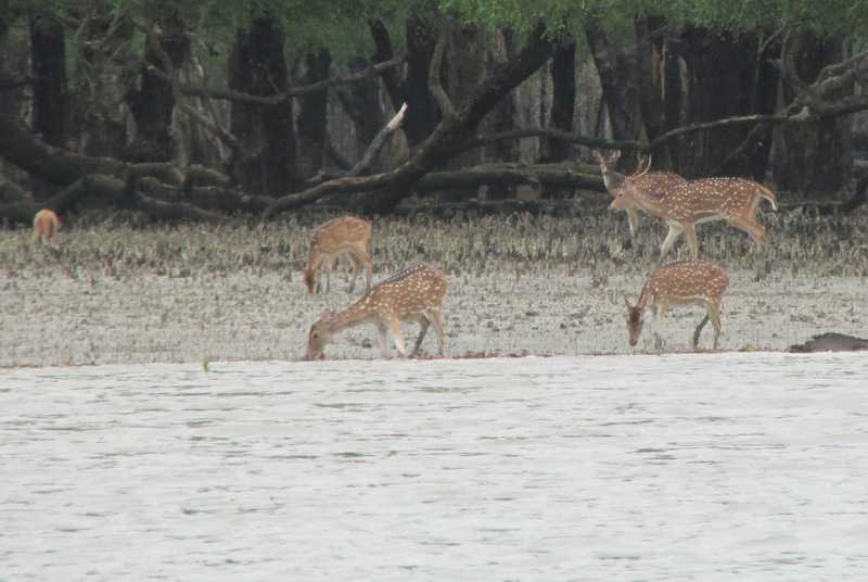 Spotted Deer (Axis axis