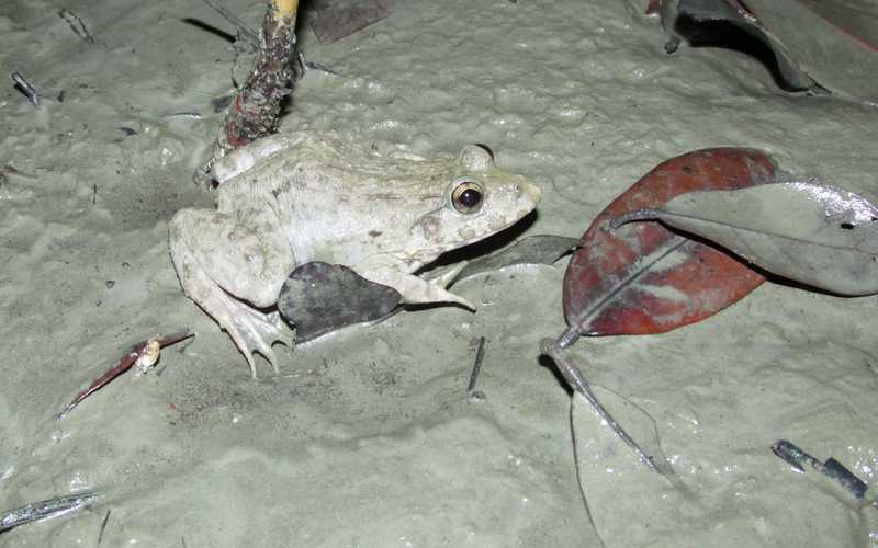 Brackish Frog (Fejervarya moodiei) bangladesh sundarbans