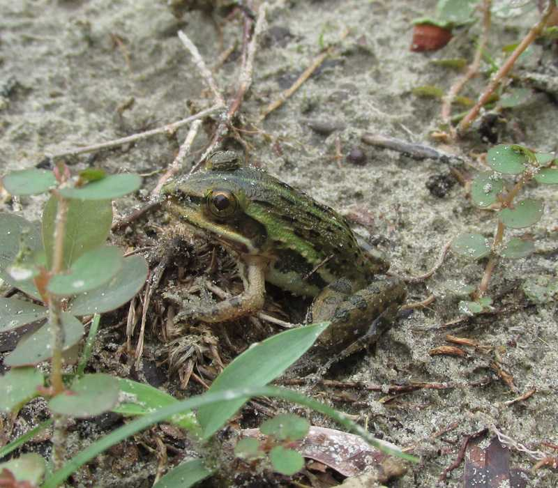 juvenile Indian Bullfrog (Hoptobatrachus tigerinus) sundarbans bangladesh