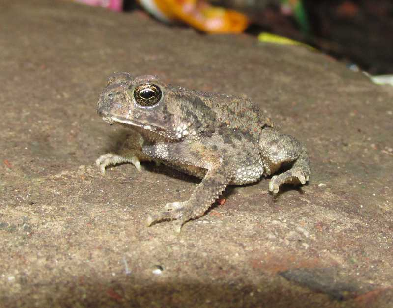 Common Indian Toad (Duttaphynus melanostictus) bangladesh