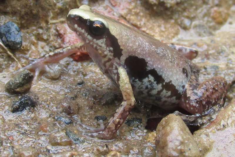 Inornate Froglet Micryletta inornata Lawachara National Park bangladesh