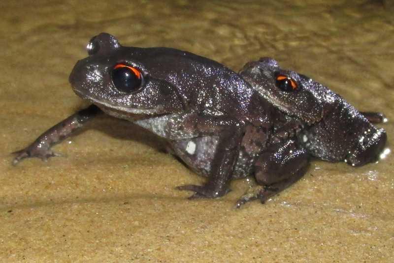 Vampire Frogs Leptobrachium smithi Lawachara National Park