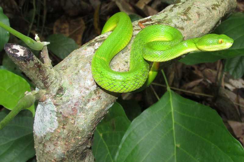 Spot-tailed Pit Viper Trimeresurus erythrurus Lawachara National Park bangladesh