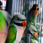 Red-breasted parakeets at bird fair (photo courtesy of animesh ghose and and the green explore society)