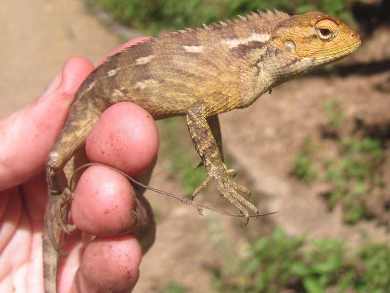 Oriental Garden Lizard (Calotes versicolor) mussoorie india himalayas