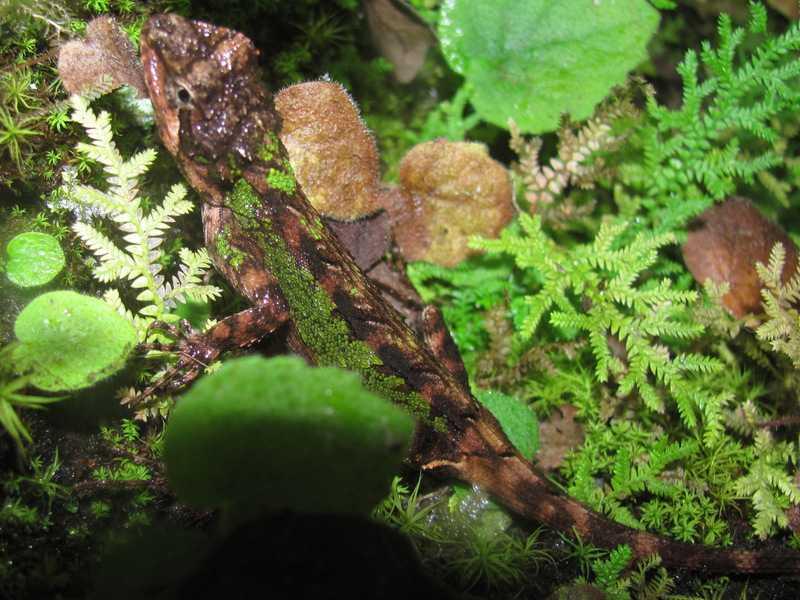 large mountain lizard japalura major mussoorie india himalayas