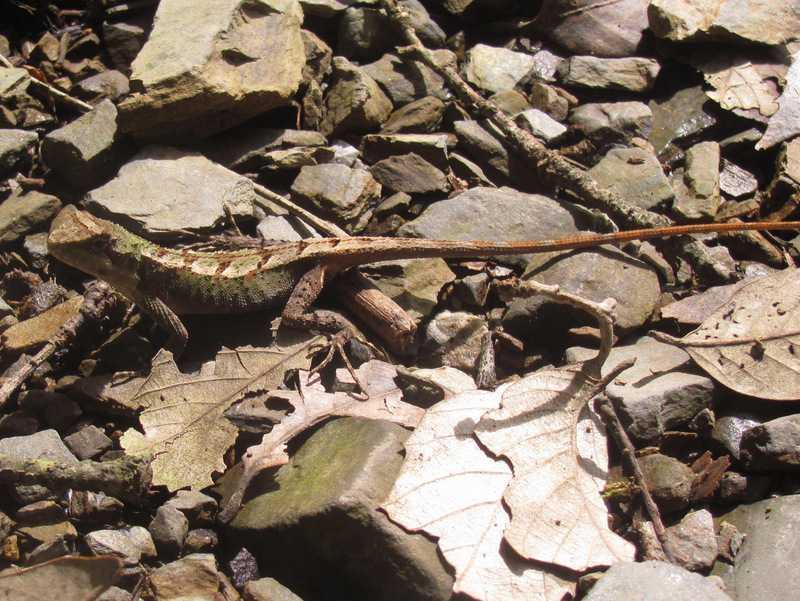 juvenile Large Mountain Lizard (Japalura major) mussoorie india himalayas