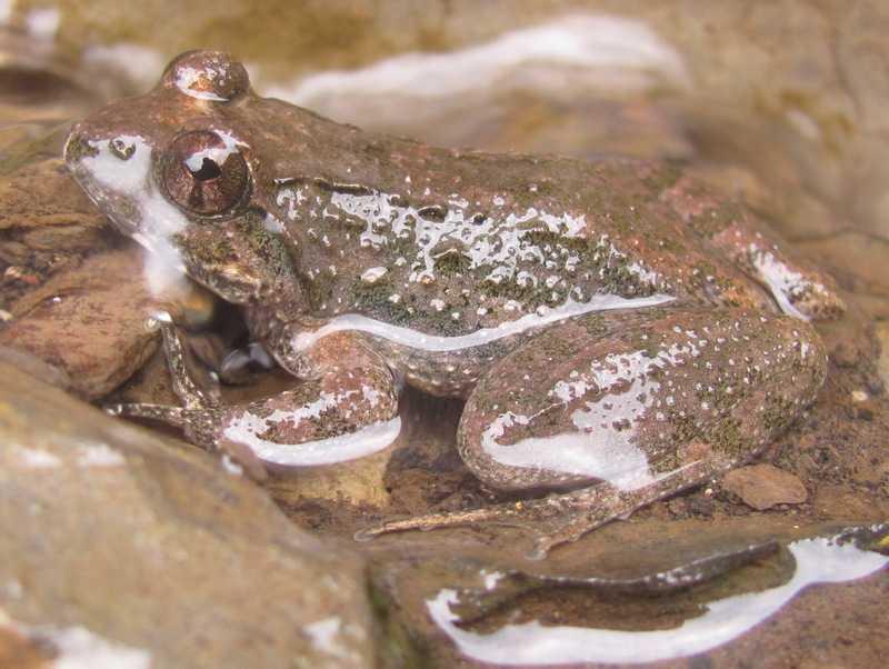 small nepal paa frog Nanorana minica mussoorie india himalayas