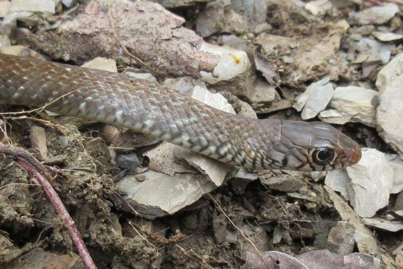 Indian Rat Snake ptyas muscosa mussoorie india himalayas