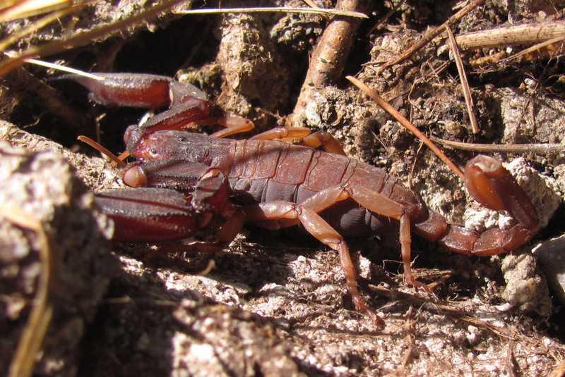 scorpion mussoorie india himalayas